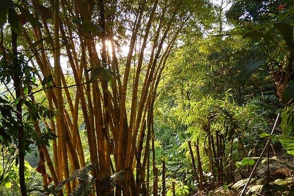 Bambu-Guadua