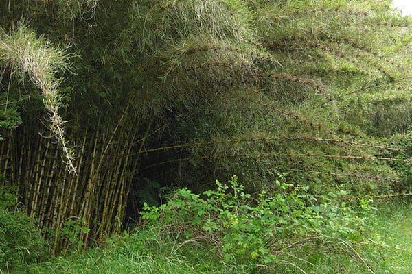 Bambu-del-Cile