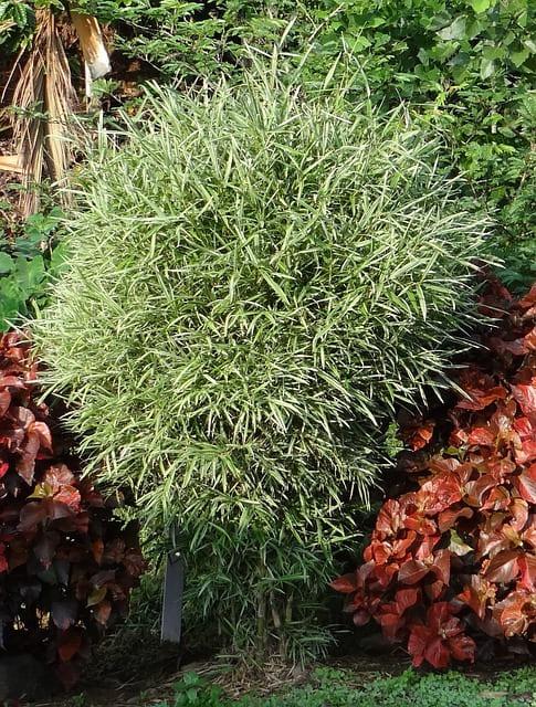 Bambu-nano-variegato